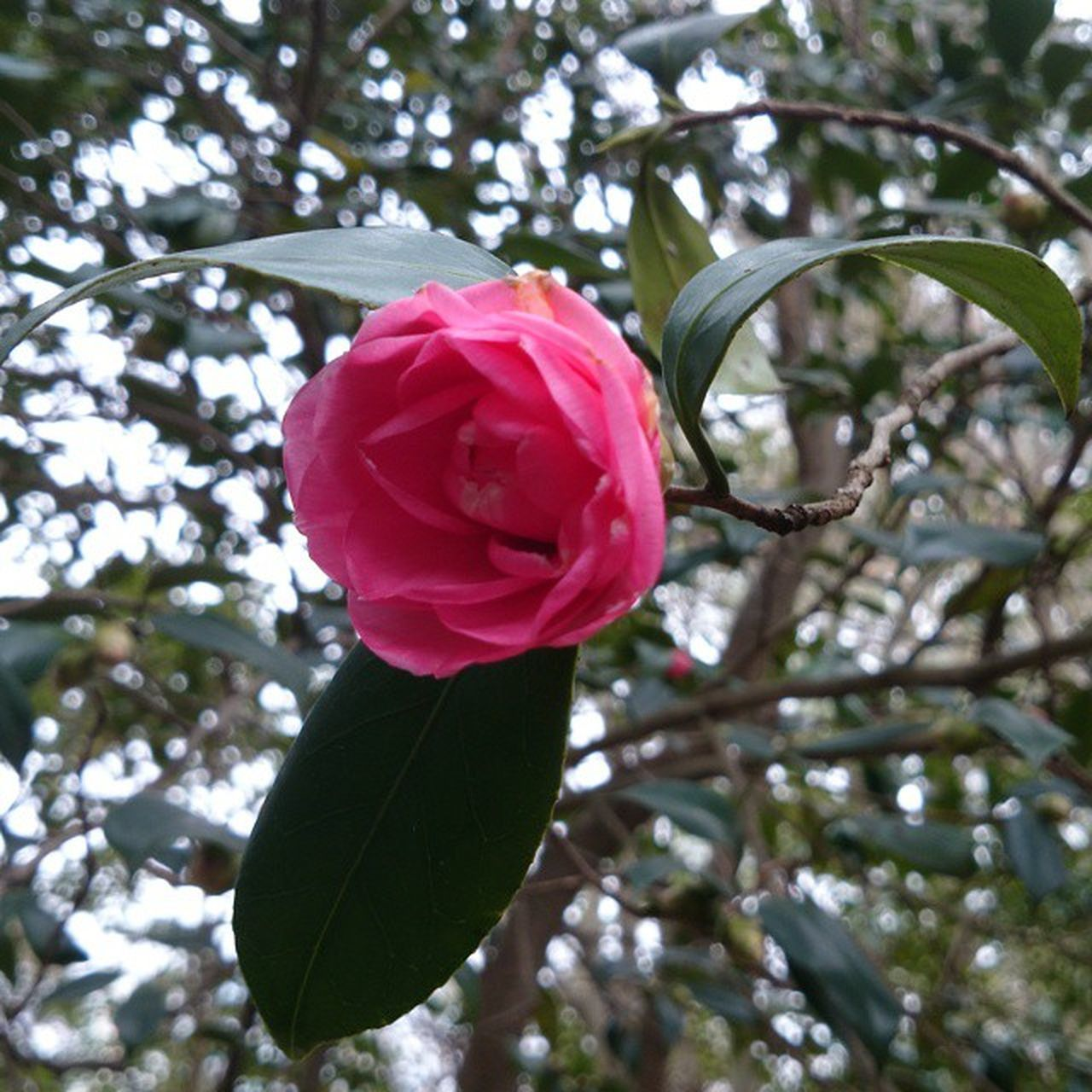 flower, petal, fragility, nature, growth, beauty in nature, freshness, rose - flower, flower head, blossom, leaf, plant, pink color, no people, springtime, outdoors, close-up, day, blooming, tree, branch