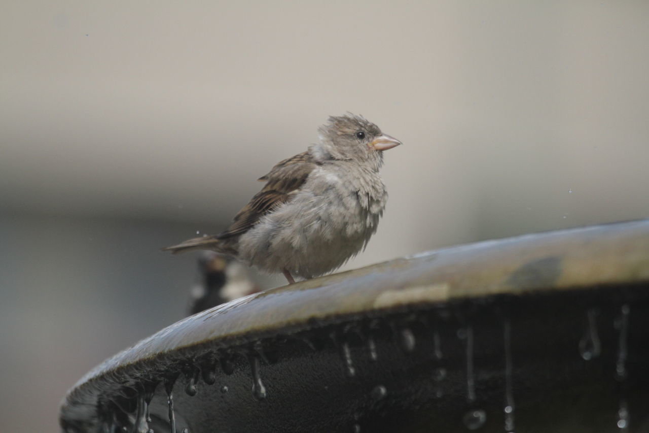 Animal Themes Animal Wildlife Animals In The Wild Bird Close-up Day Focus On Foreground Fountain Nature No People One Animal Outdoors Perching Sparrow Water Wet