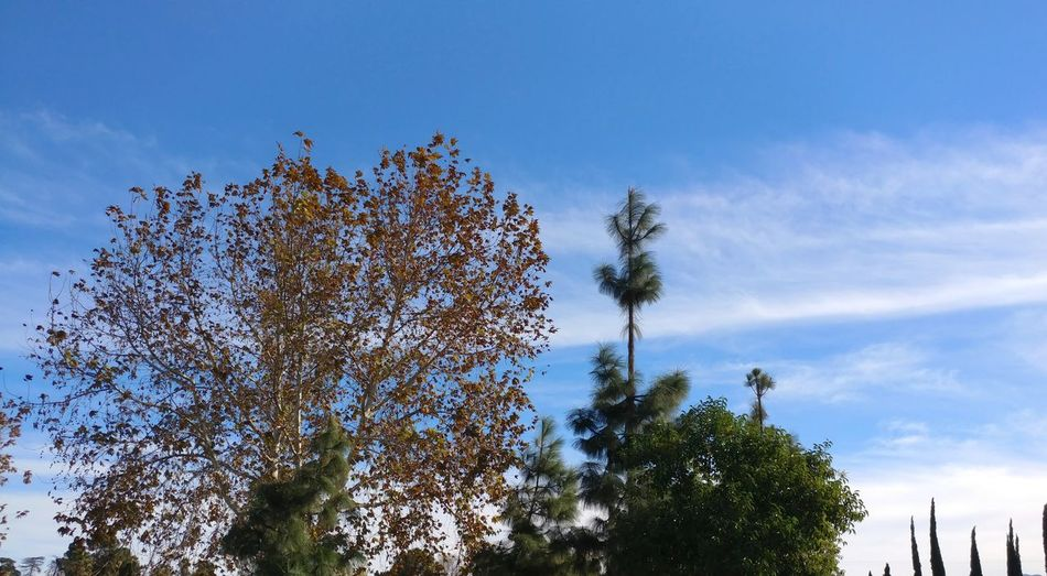 Different Trees On Nature's Background trees Blue Blue Sky Light Clouds Tree Tops Treetops