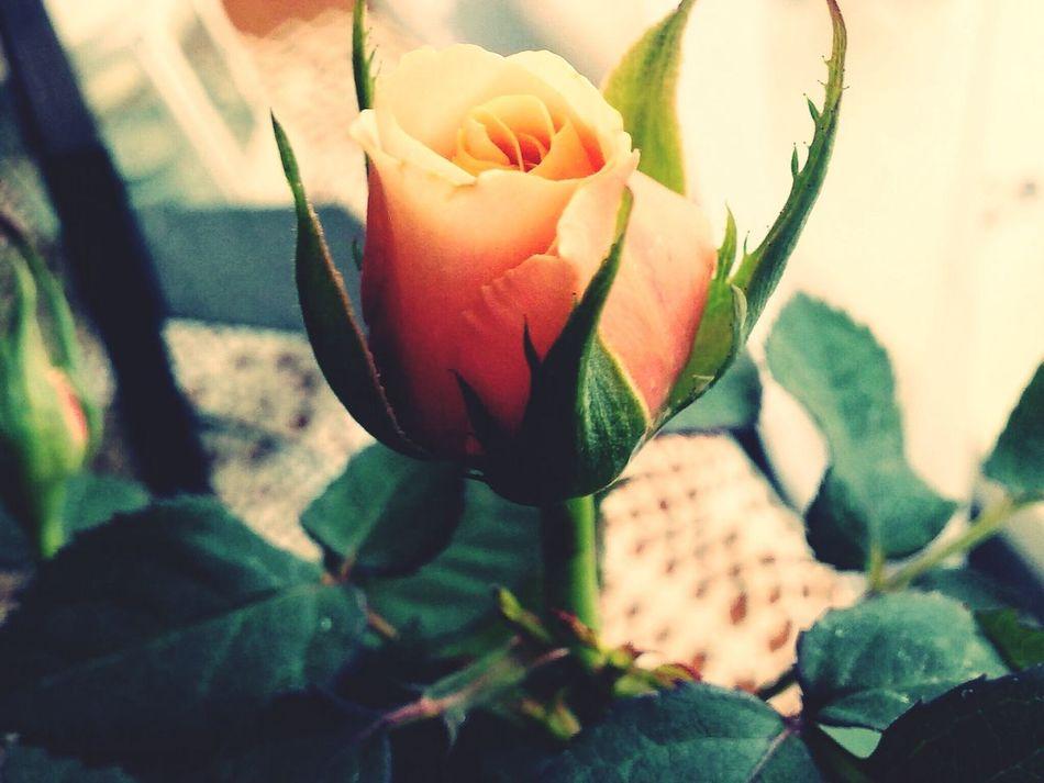 Gentle Rose Roses