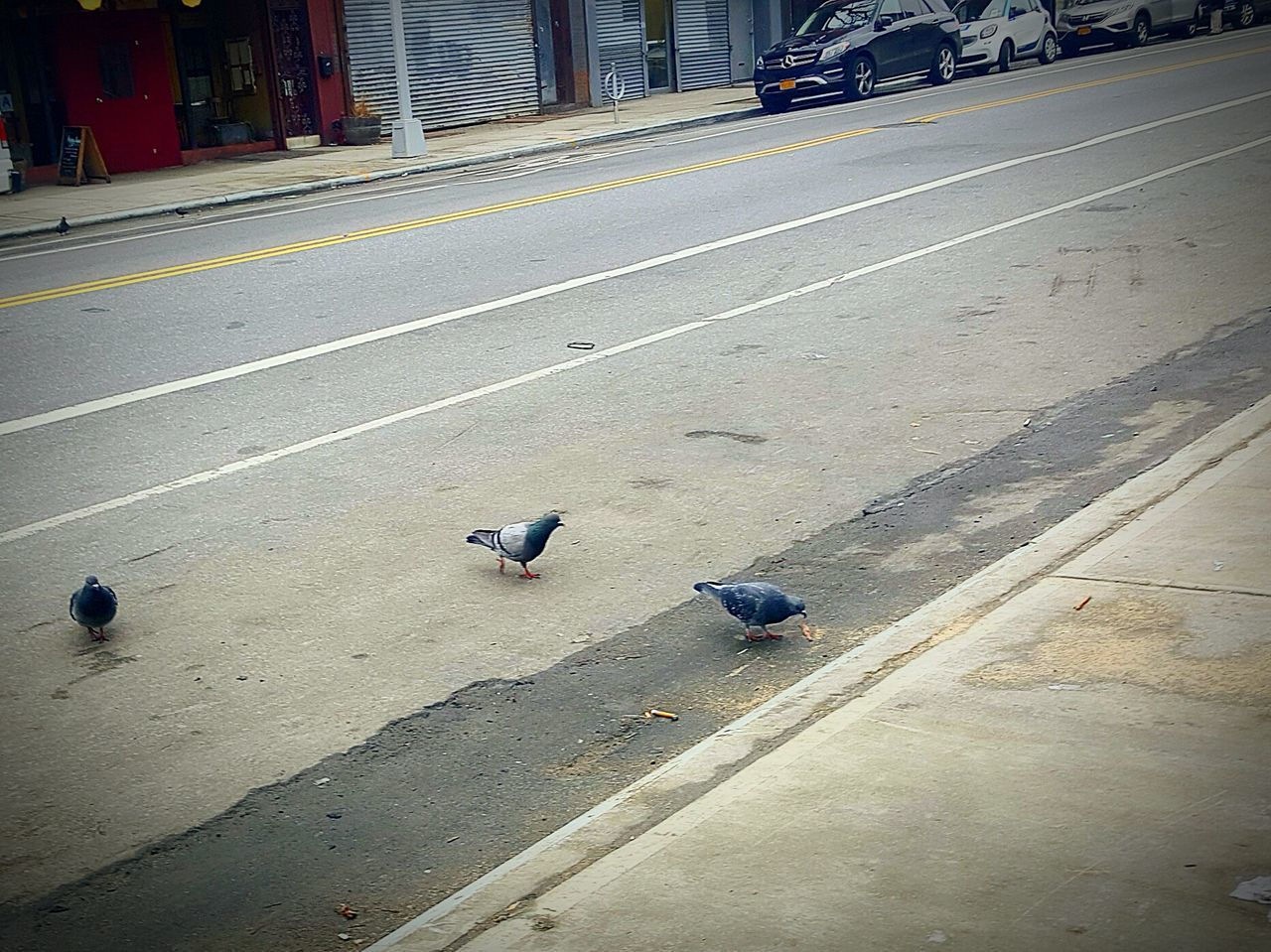 Hood Birds.. 😂 Street City Road Outdoors No People Animal Themes Pigeonslife Ratswithwings Noflyingsouth Eyemphotography Fresh On Eyeem  EyeEmNewHere Fresh On Eyeem  Adapted To The City Williamsburg, Brooklyn