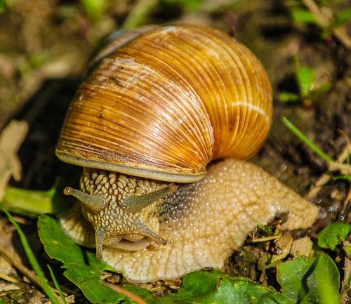 Weinbergschnecke - Hello, I have my home with me Aug In Aug Beautiful Nature Schneckenhaus Weinbergschnecke Animal Themes Animals In The Wild Beauty In Nature Close-up Close-up Nature Tiere Close-up Snapshot Taking Photos Nature No People One Animal Outdoors Snail Collection Best Shots Hofi Hofis Premium Collection Best Tiere Hofi