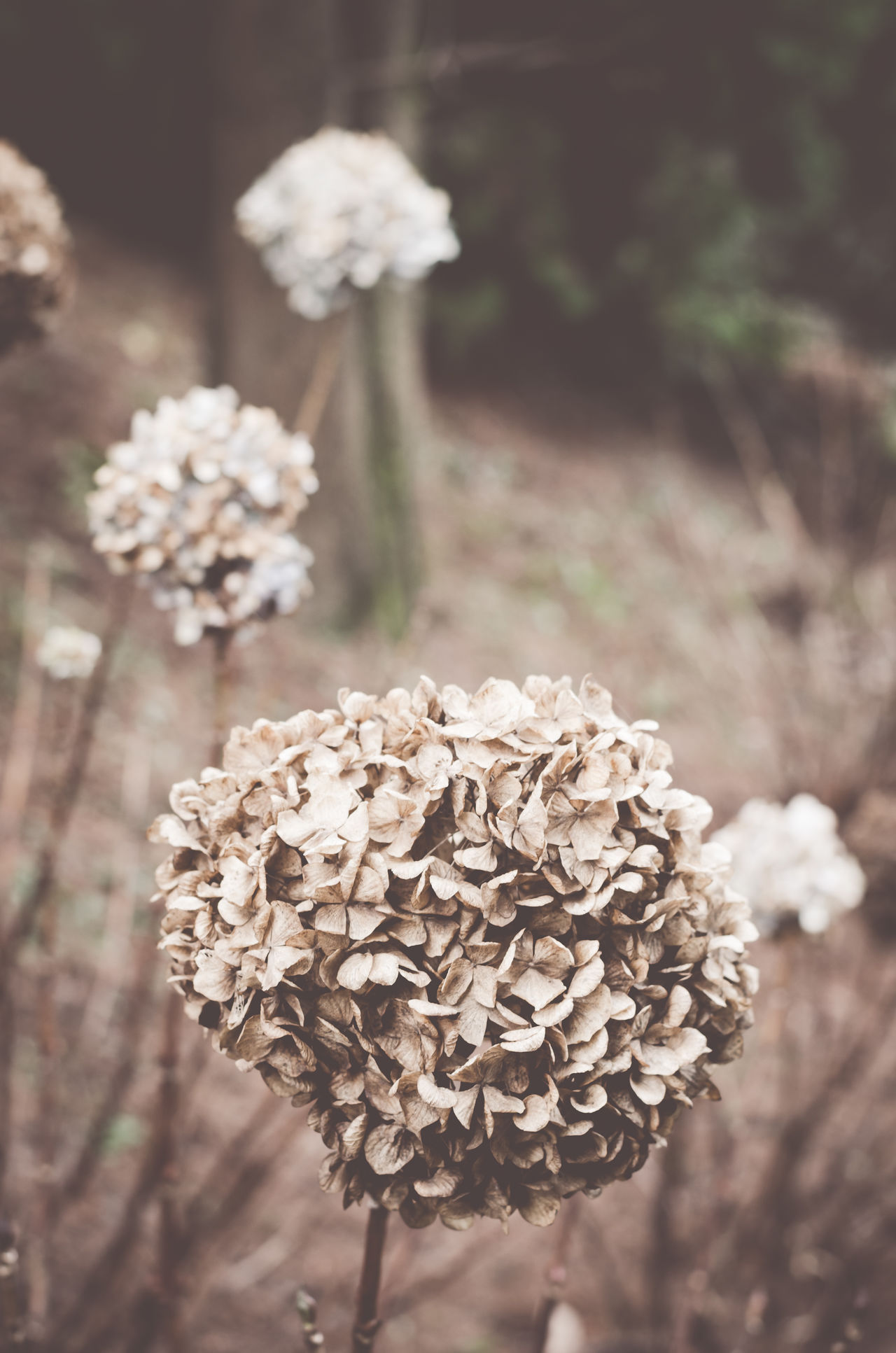 dried hydrangea blossom - winter gardens Abundance Autumn Botany Close-up Dried Flowers Dry Filtered Image Flower Focus On Foreground Fragility Full Frame Growing Hydrangea Macrophylla Hydrangeas Leaf Leaves Nature New Life No People Selective Focus Springtime White Winter Gardens