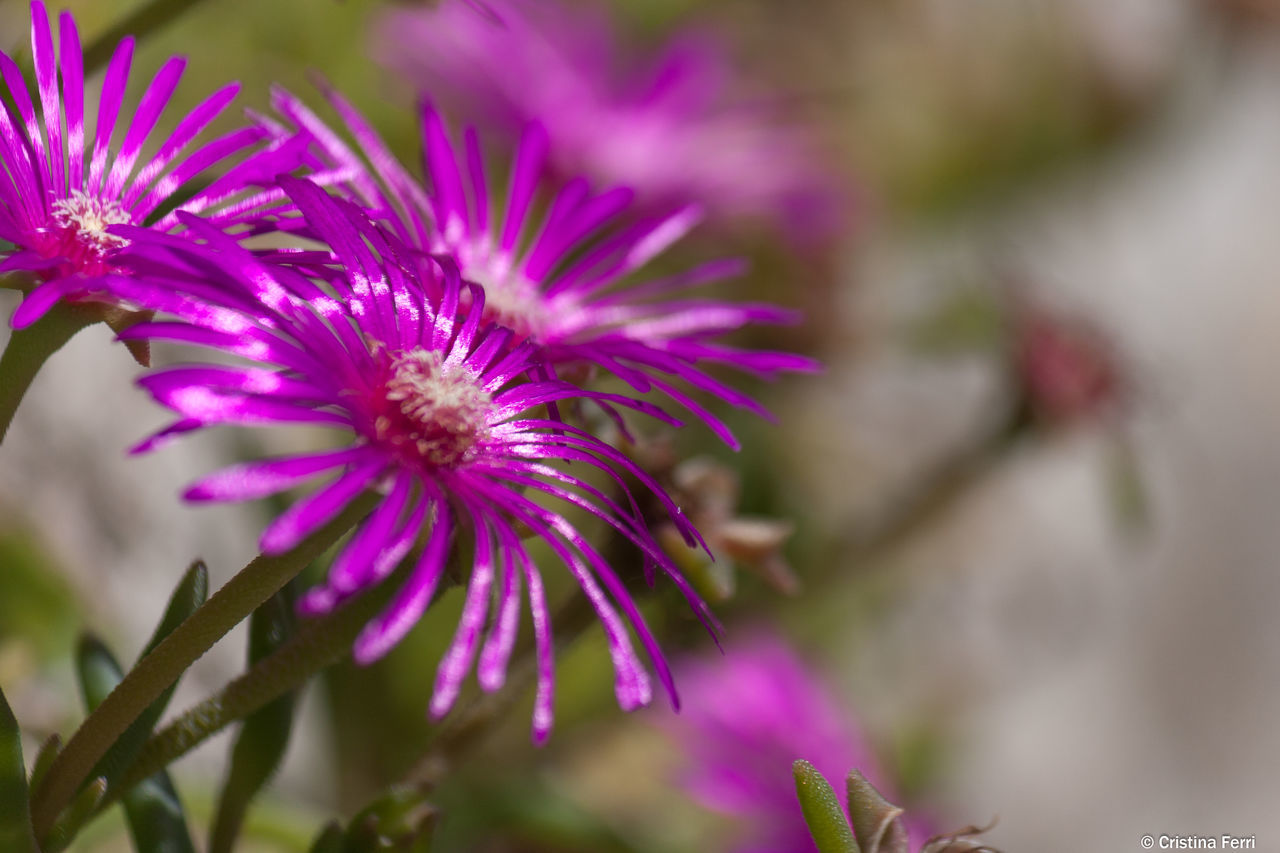 flower, purple, fragility, nature, selective focus, beauty in nature, freshness, growth, no people, day, plant, outdoors, close-up, flower head