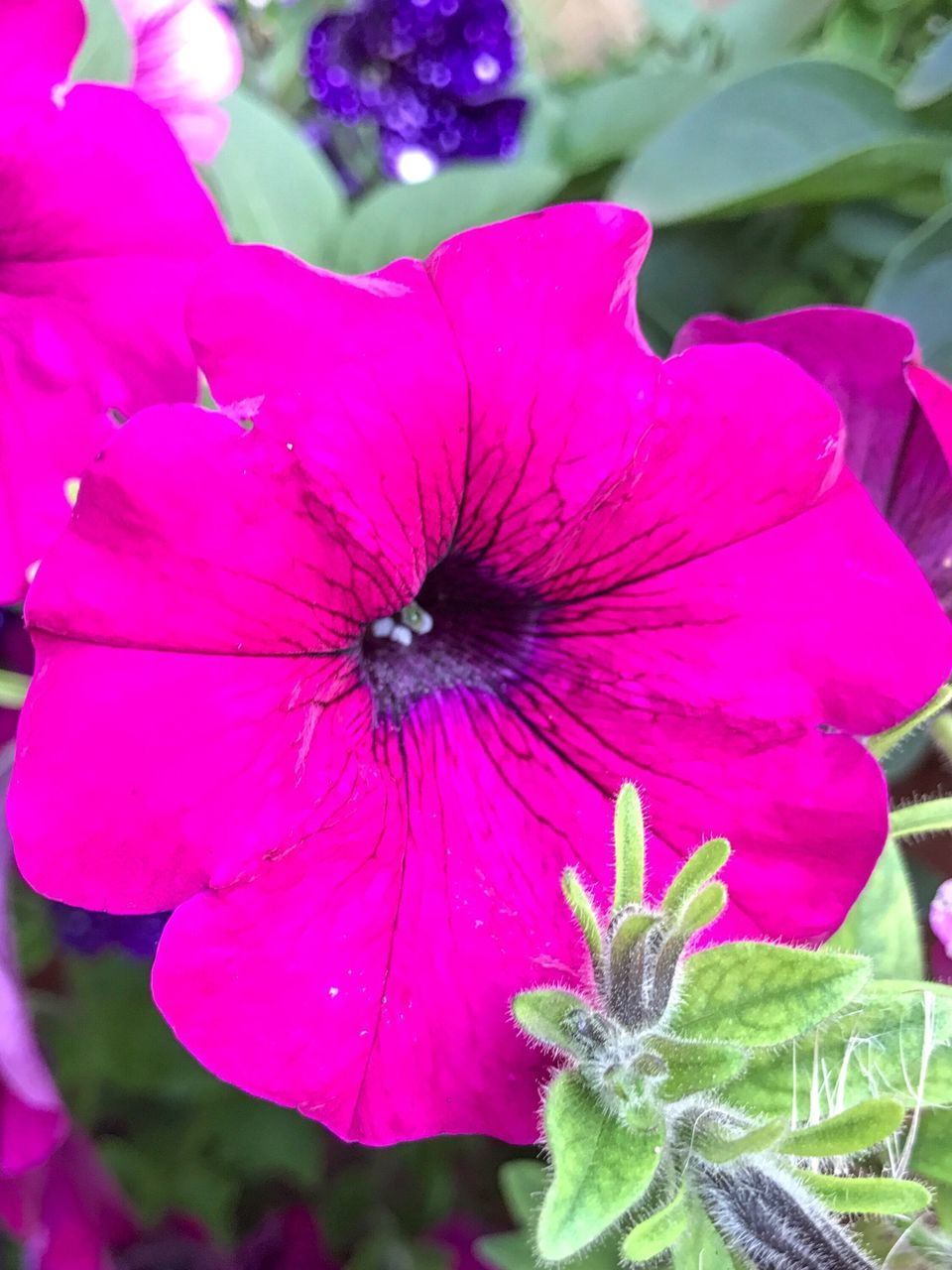 Flower Petal Fragility Beauty In Nature Flower Head Growth Nature Pink Color Plant Freshness Blooming Day Outdoors No People Close-up Animal Themes Petunia