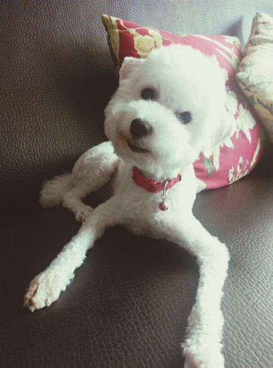 Whitepoodle Toypoodle Poodle