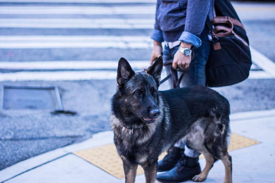 Beautiful stock photos of german shepherd,  Atlanta,  Canine,  Casual Clothing,  Day