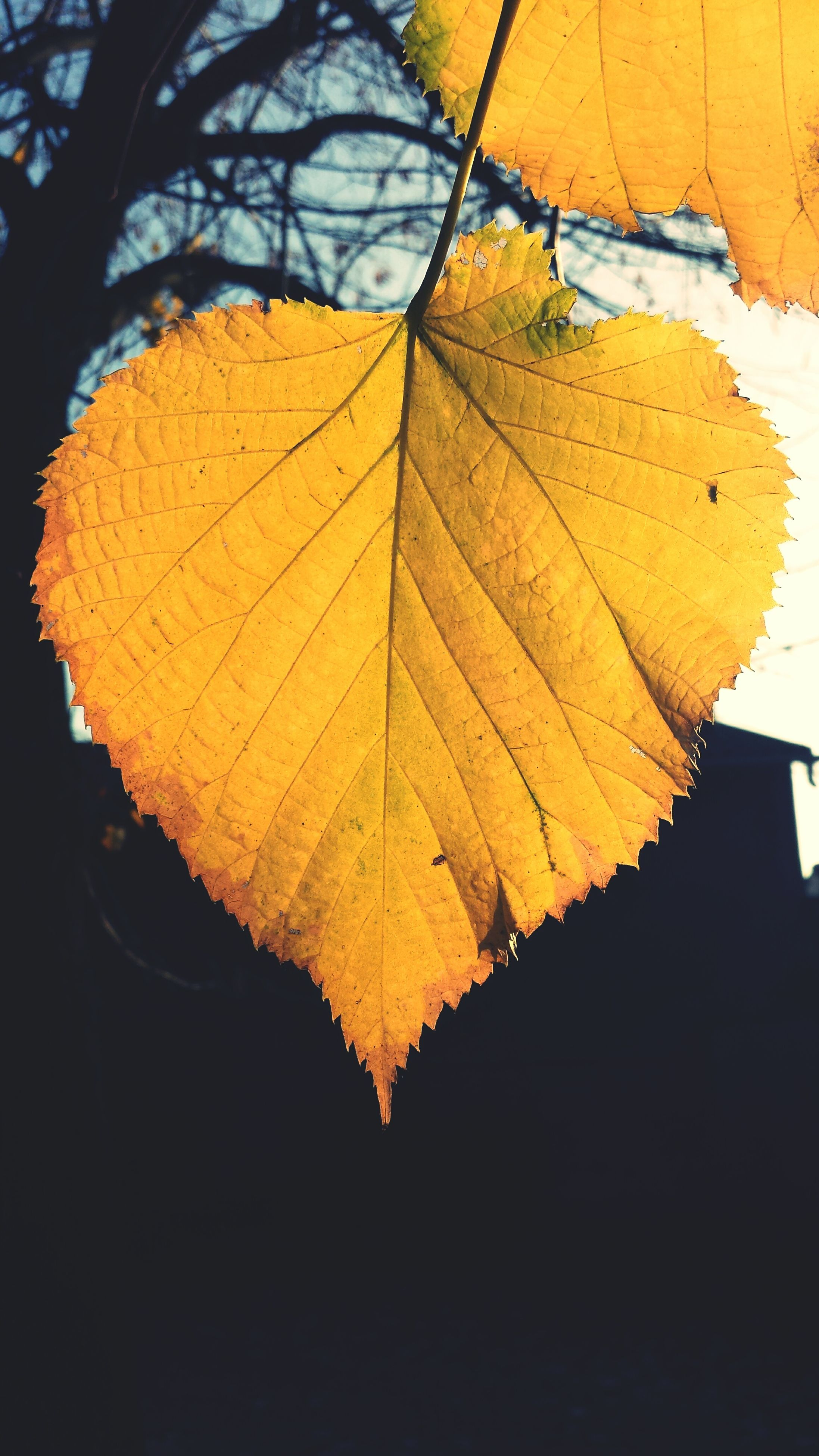 close-up, yellow, autumn, orange color, leaf, change, built structure, leaf vein, focus on foreground, no people, sunlight, shadow, architecture, pattern, nature, wall - building feature, outdoors, day, dry, low angle view