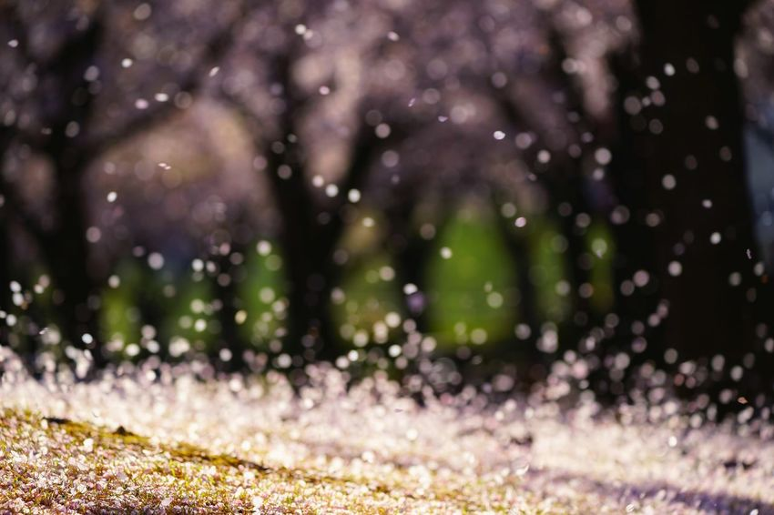 Capture The Moment Fall Beauty Petals🌸 Shower Defocused Bokeh Photography Beauty In Nature Sakura Cherry Blossoms Uzuki Of The Flower Fine Art Springtime Fantasy Fragility Still Life Nature Snapshots Of Life The Secret Spaces Art Is Everywhere EyeEmNewHere Full Frame Detail Sigma EyeEm Best Shots 17_04 EyeEm Diversity