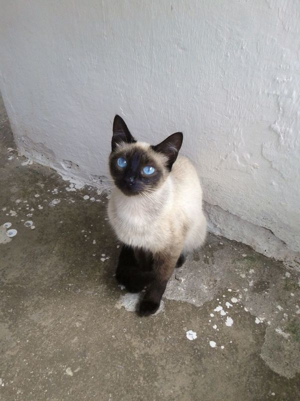 Domestic Cat Pets Domestic Animals Animal Themes One Animal Feline Sitting Portrait Looking At Camera Siamese Cat Mammal No People Outdoors Day Close-up Eyesblue Eyesblues Blue Color Blue Eyes Cats Eyes Cat Eyes Bluecollection Bluecolor ColorBlue Fullcolor Pet Portraits