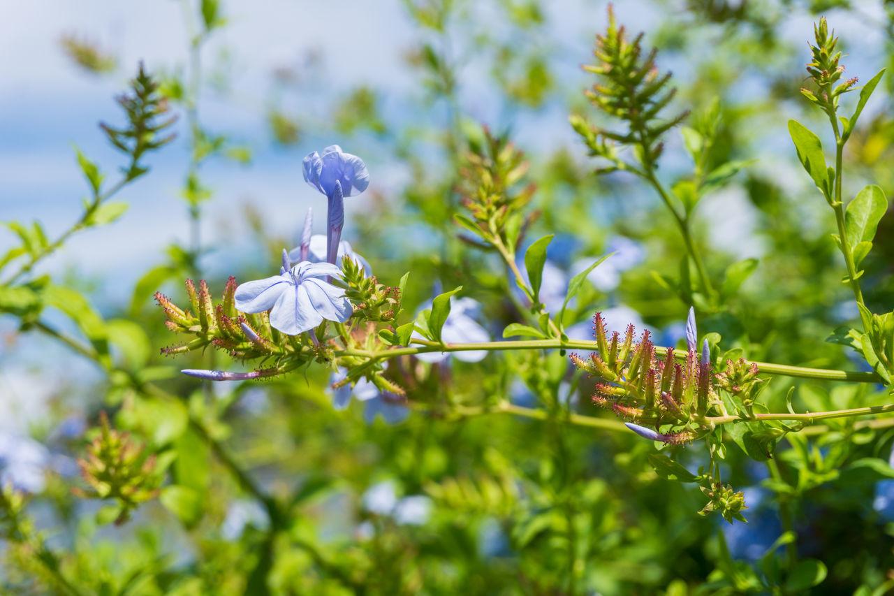 Close-up of beautiful Blue Flowers in Summer Beauty Blooming Blue Branches Cape Leadwort Cape Plumbago Closeup Flowers Garden Green Growing Growth Nature Plants Plumbaginaceae Plumbago Auriculata Season  Summer Sunlight