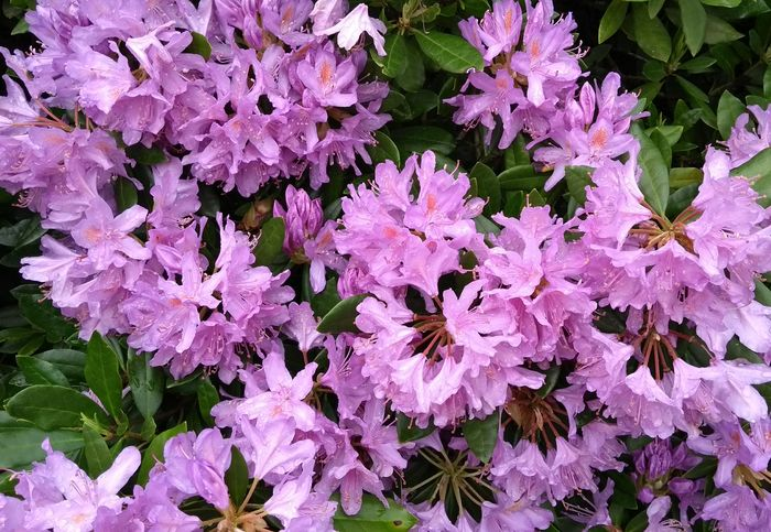 Rhodedendron Flowers Flower Beauty In Nature Nature Growth Fragility Plant Outdoors No People Freshness Day Leaf Blooming Flower Head Close-up Rhodendron