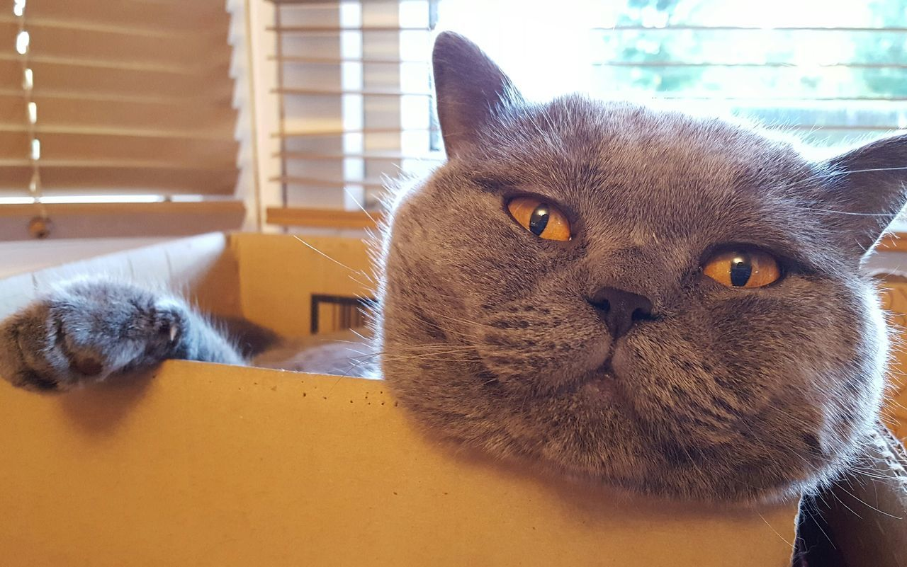 Cat In A Box Cat In The Box Cat In Window Pets Domestic Cat Domestic Animals Feline Relaxation Resting Close-up At Home Chilling Out British Shorthair British Blue British Shorthair Cat Copper Eyes Animal Eye Animal Animal Nose Cat Indoors  Relaxing At Home Cat Love Handsome Cat