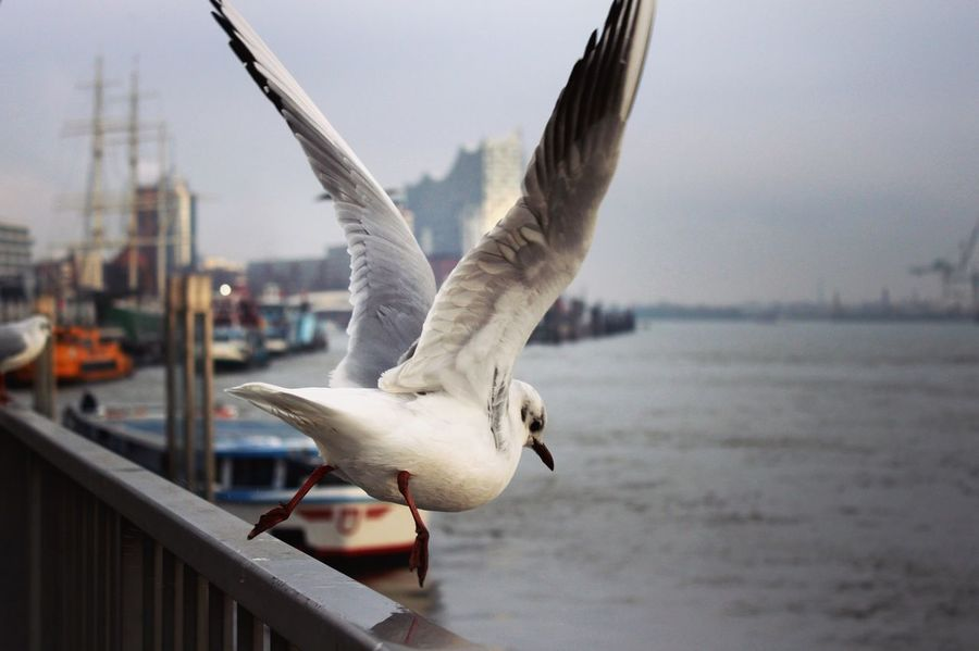 Animal Themes Bird Animals In The Wild Focus On Foreground Animal Wildlife Day Lake Outdoors No People One Animal Nature Spread Wings Water Architecture Close-up Sky Harbor Hamburg Harbour Hamburg Hamburger Hafen Elbphilharmonie Möwe Gull Elbe Wings Spread