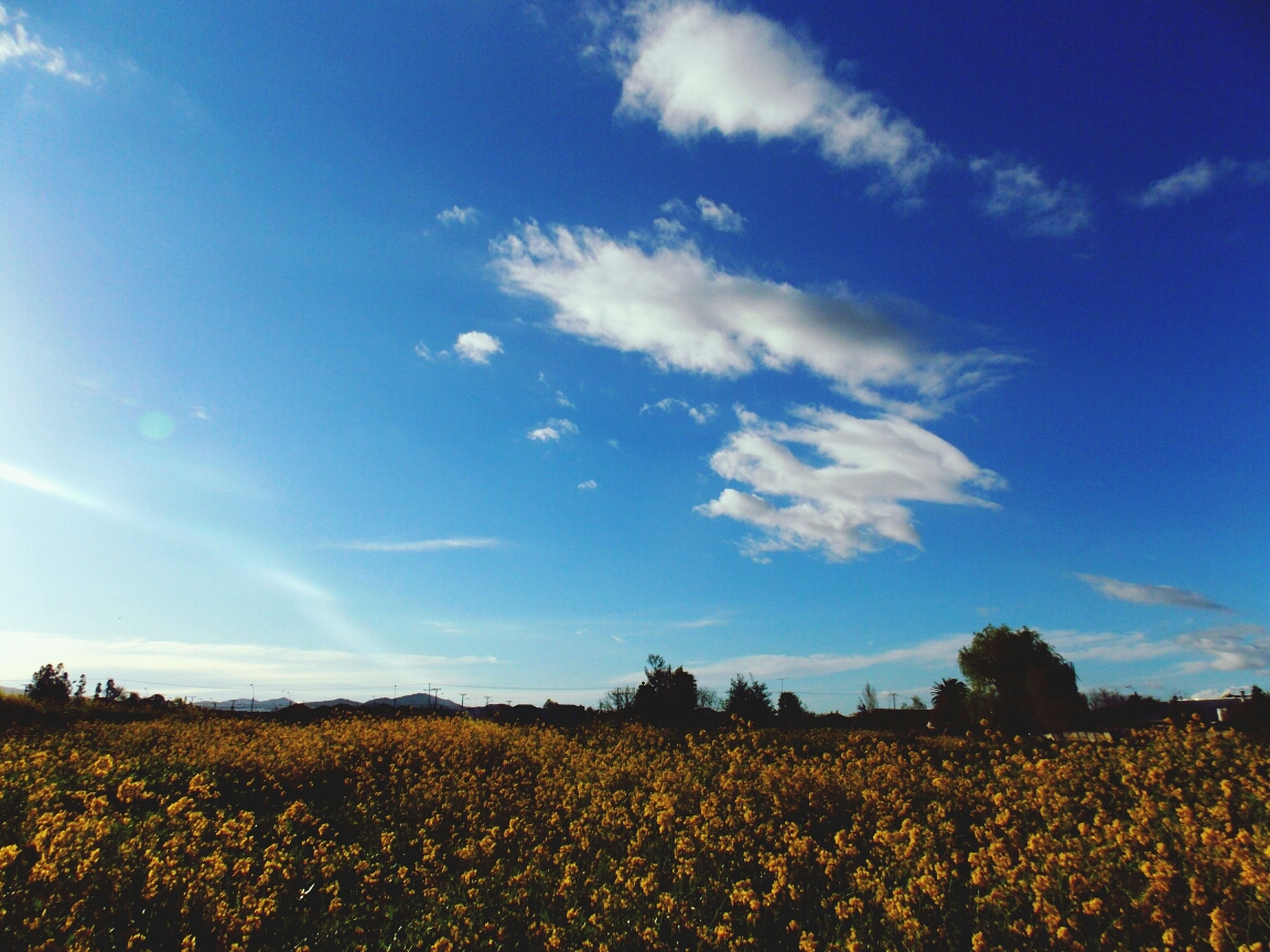 field, agriculture, rural scene, beauty in nature, flower, landscape, sky, growth, tranquil scene, tranquility, nature, scenics, blue, farm, yellow, crop, cloud - sky, plant, abundance, freshness