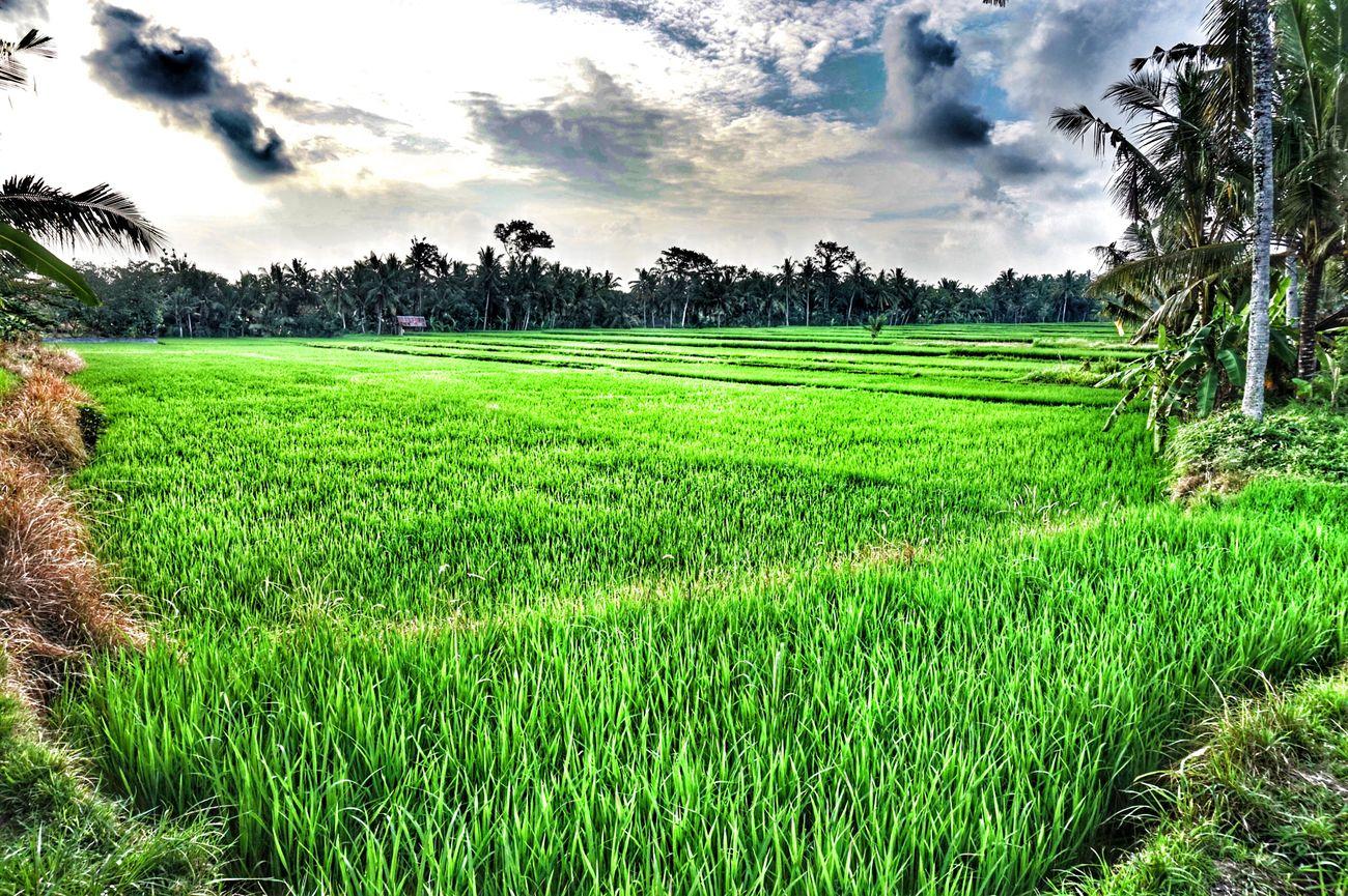 Reisfeld Bali Ubud