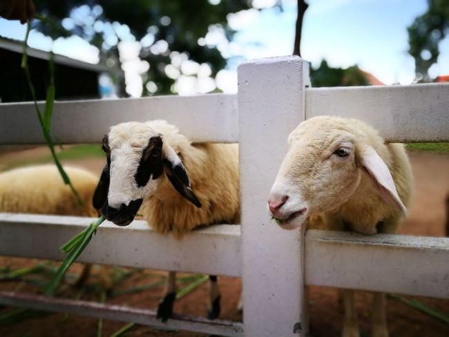 Pattaya Close-up Zoology Fence Animal Head  No People Animal Nature Thailand Holiday P9leica Nofilter Sheep Sheep Farm