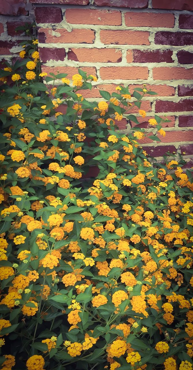 flower, yellow, growth, fragility, plant, nature, day, outdoors, beauty in nature, brick wall, petal, leaf, blooming, freshness, no people, full frame, backgrounds, tranquility, close-up, black-eyed susan, flower head