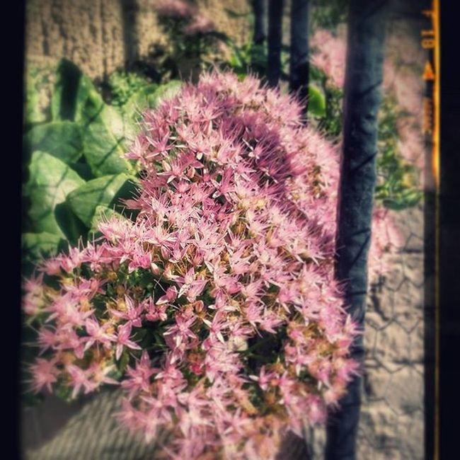 Orpine Flower Flowers Nature LoveNature Loveflowers Autumn