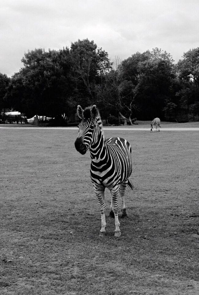 Zoo Animals Zebra Blackandwhite
