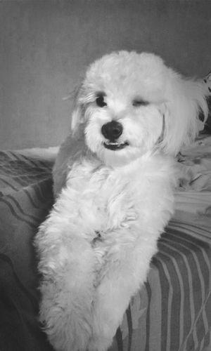 Winks Poodle Dog