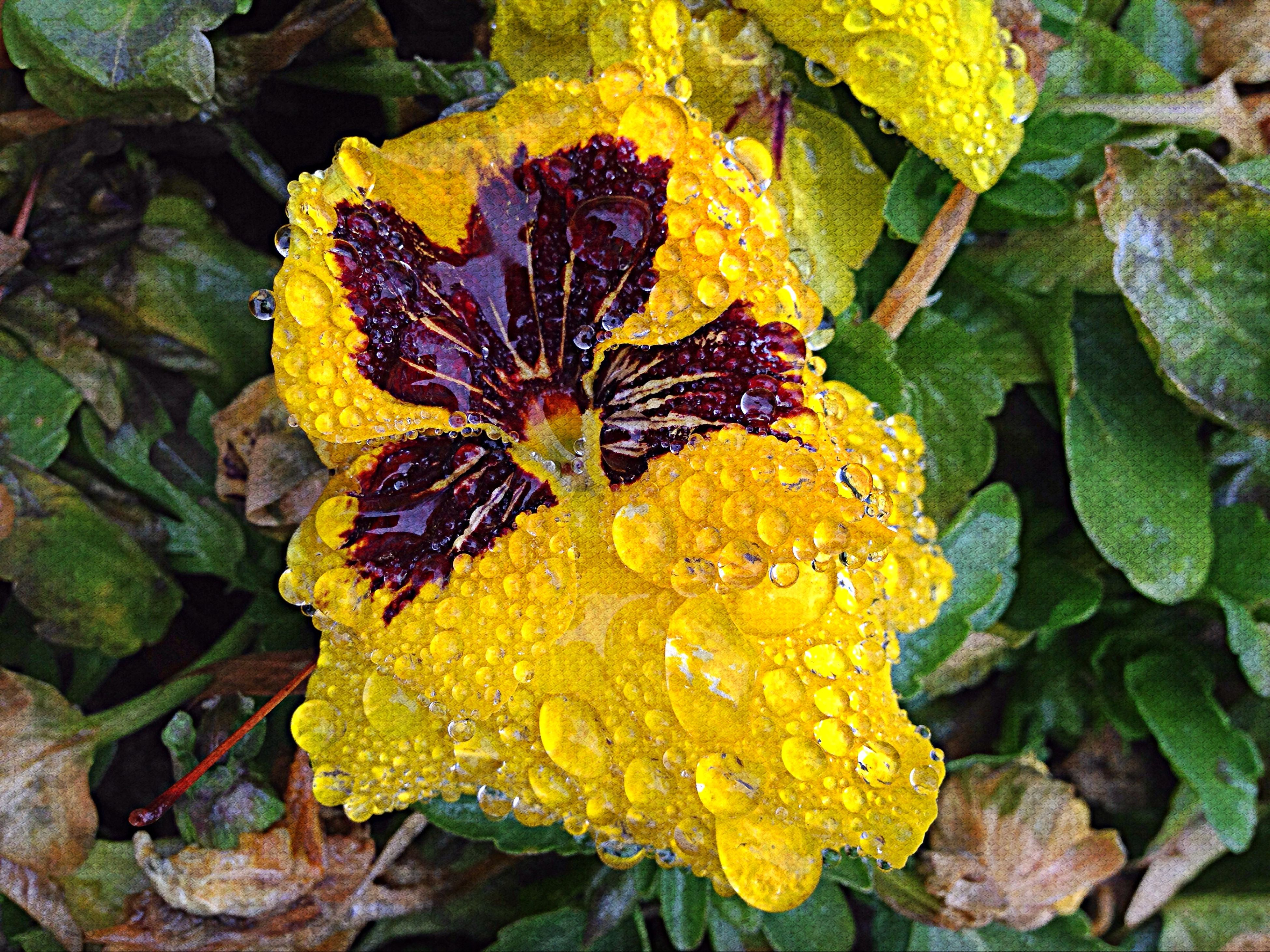 leaf, yellow, fragility, season, autumn, nature, beauty in nature, leaf vein, leaves, close-up, growth, change, wet, high angle view, natural pattern, freshness, water, plant, flower, drop