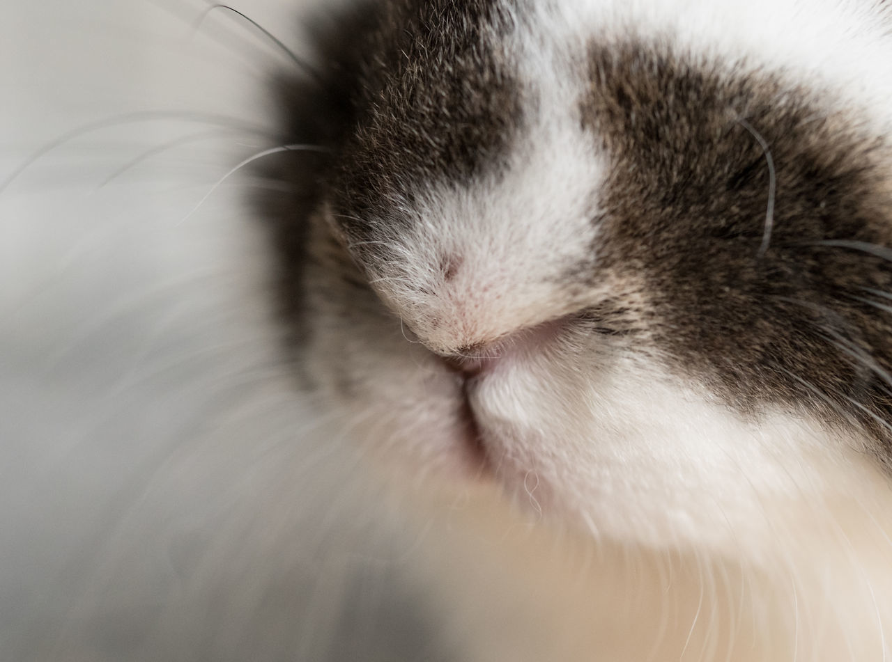 Alertness Animal Body Part Animal Head  Animal Themes Cat Close-up Comfortable Curiosity Cute Domestic Animals Domestic Cat Home Indoors  Mammal Nose One Animal Pets Portrait Rabbit Relaxation Relaxing Sleeping Macro Beauty