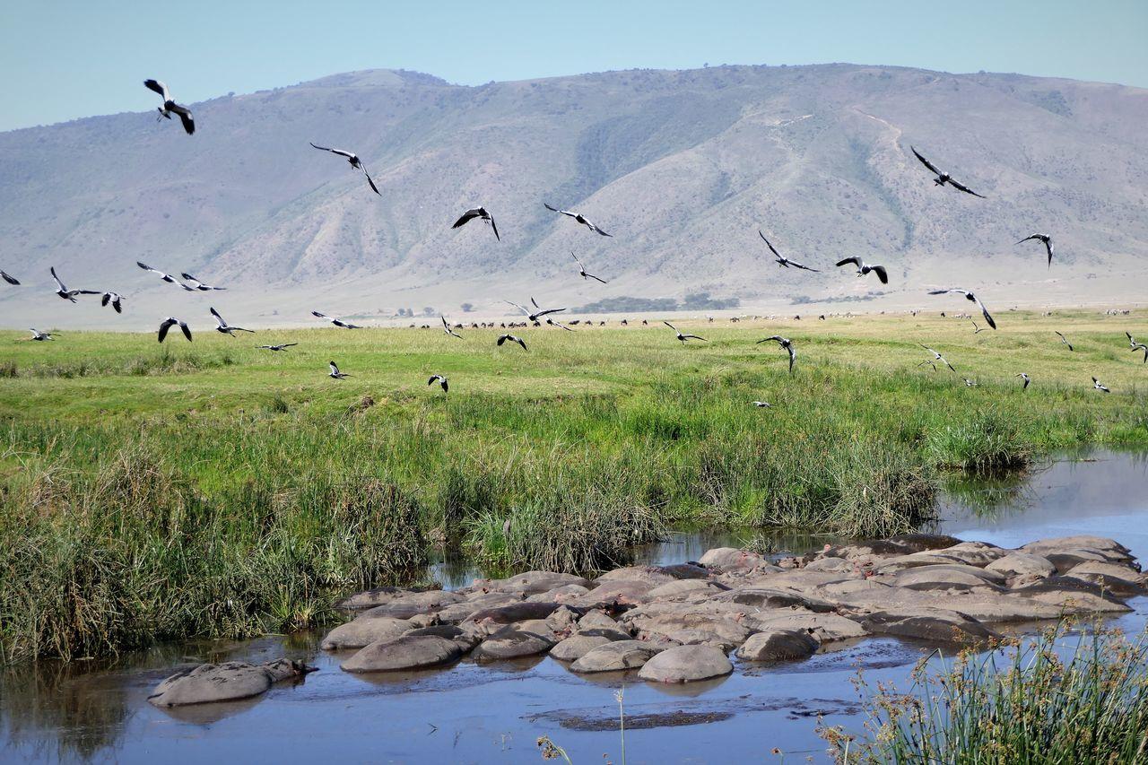 Serengeti Animal Themes Animal Wildlife Animals In The Wild Beauty In Nature Bird Day Flock Of Birds Flying Hippos Landscape Large Group Of Animals Nature Ngorongoro Crater No People Outdoors Serengeti National Park Tanzania