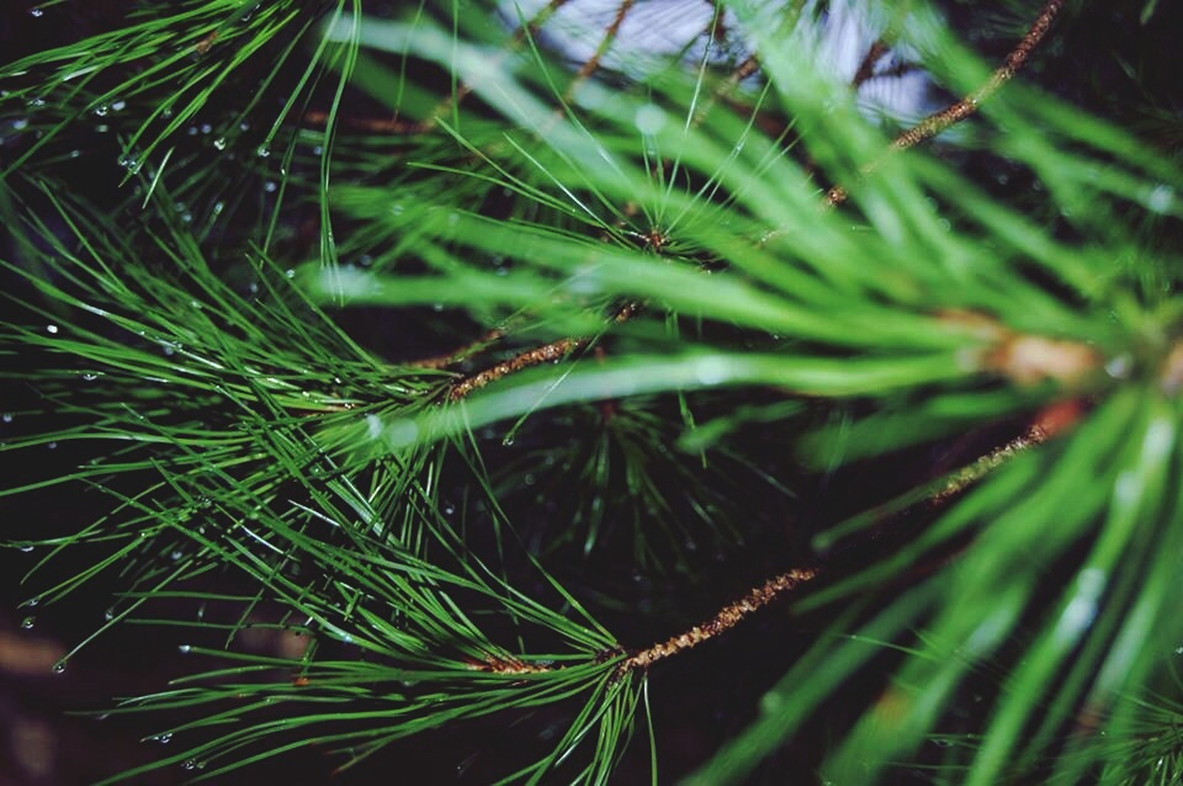 growth, close-up, nature, plant, green color, leaf, beauty in nature, focus on foreground, palm tree, tranquility, outdoors, day, no people, tree, selective focus, freshness, low angle view, pine tree, branch, growing