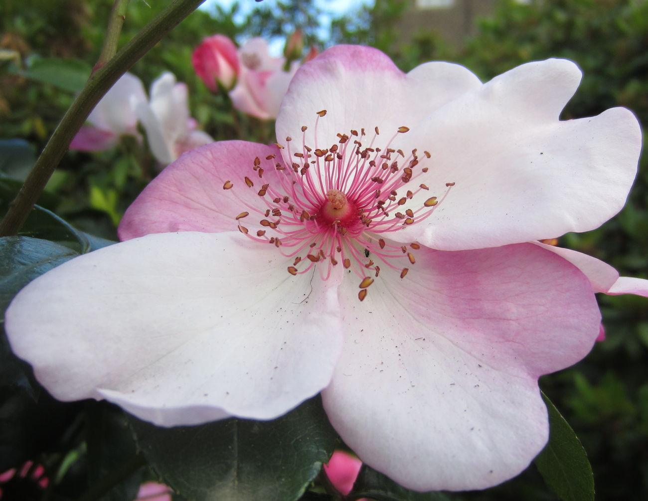 My_rose_collection BeautyAndMadness Eye Em Best Shots Floralperfection