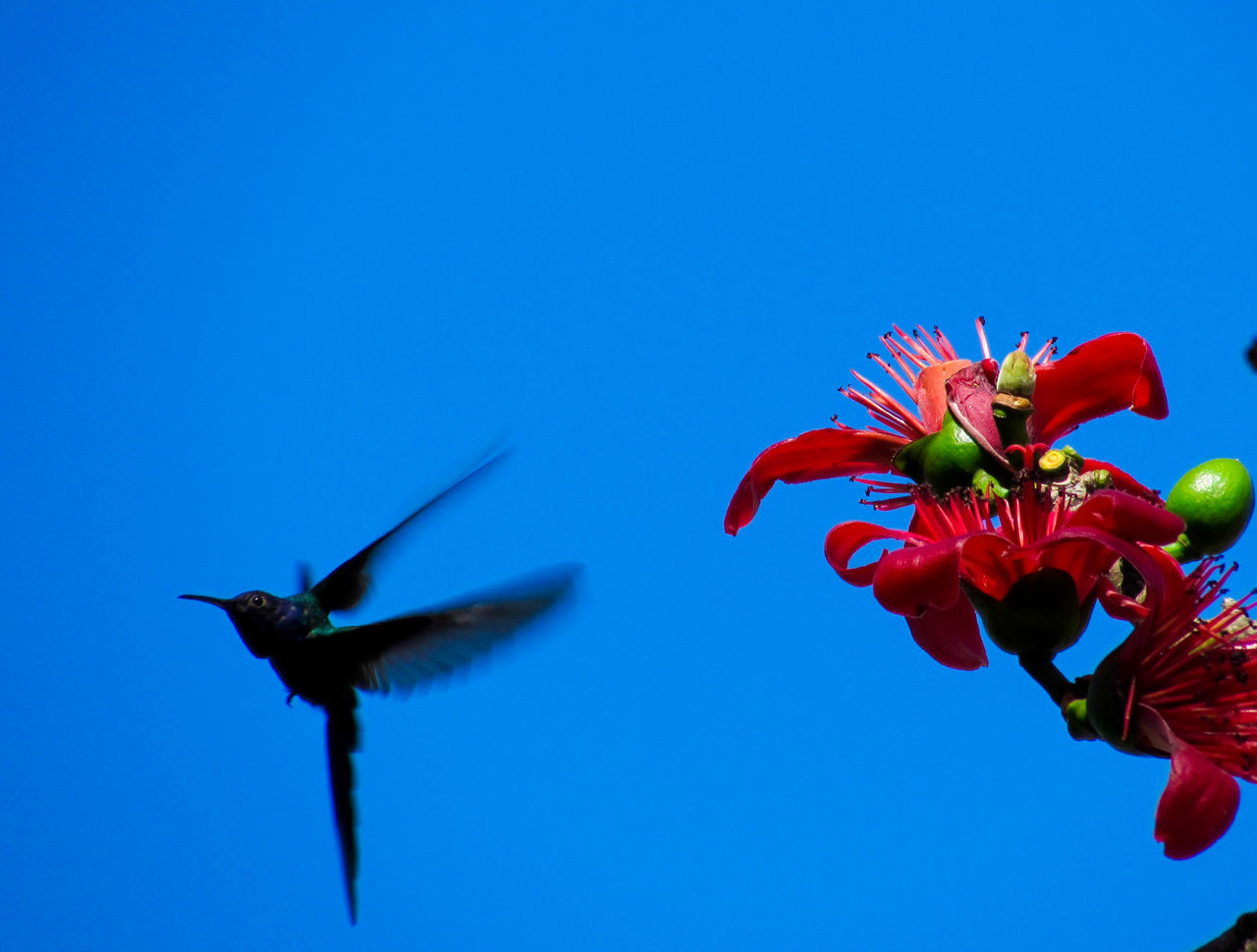Hummingbird enjoying the flower Animal Animal Themes Animals In The Wild Beauty In Nature Bird Bird Photography Birds Birds_collection Blue Clear Sky Close-up Day Flower Flowers Flying Fragility Hummingbird Hummingbirds Nature No People One Animal Outdoors Wing Wings Winter