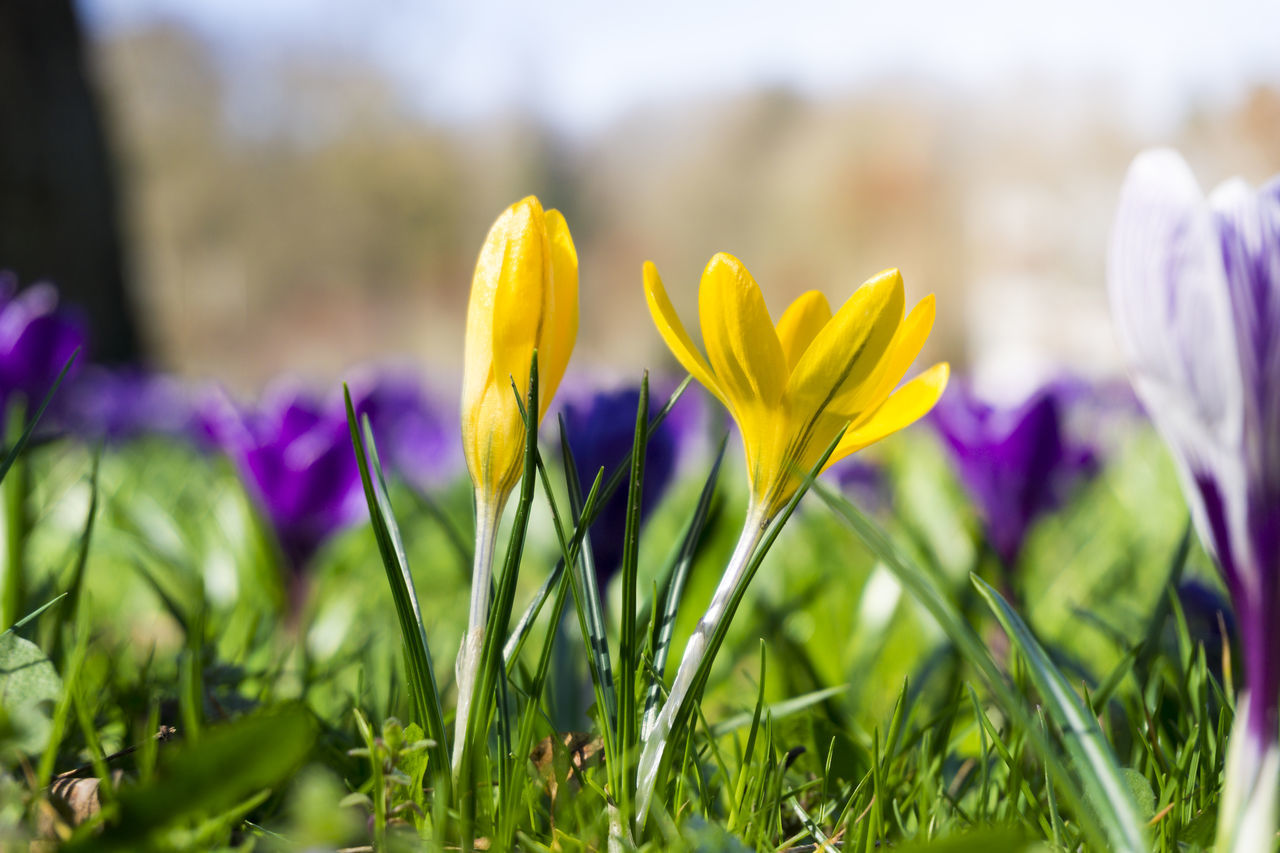 Crocuses in spring Crocuses Crocus Spring Flowers Blooming Sunshine Plants Meadow Nature Freshness Close-up Growing Growth Grass Outdoor Morning Colours Colors Background Yellow Field Flowering Beautiful Beauty Seasons
