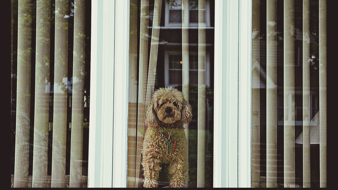 Puppy Love Dognextdoor Bergencounty Through The Window Girlsbestfriend Likeadiamond Preciousfind Theportraitist-2016eyeemawards The Street Photographer - 2016 EyeEm Awards The Portraitist - 2016 EyeEm Awards Dog Gold Fur 43 Golden Moments Hello MeetAndGreet TakeoverContrast