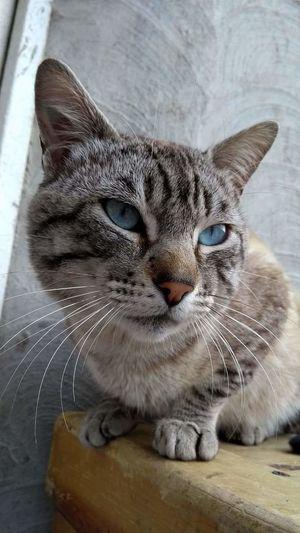 Blue Eyes Cat Cat Lovers Cats Domestic Cat Pets One Animal Domestic Animals Indoors  Feline Close-up U'huro Animal Themes Eunice-Cravioto