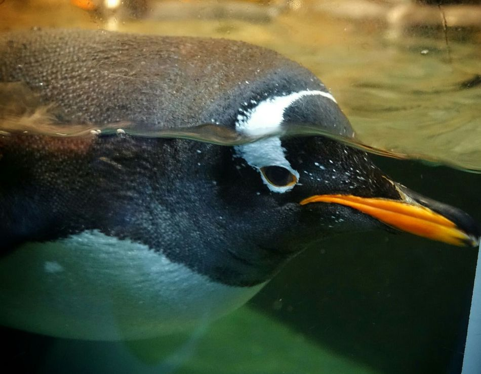 Beautiful stock photos of penguin, Animal Themes, Animals In Captivity, Animals In The Wild, Beauty In Nature