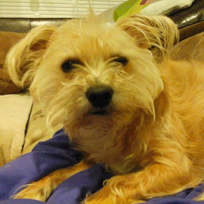 Ummm someone needs a haircut!! Stanleymuffins Obsessedwithmydog Obsesssed Dogstagram sostinkincute lovemydog