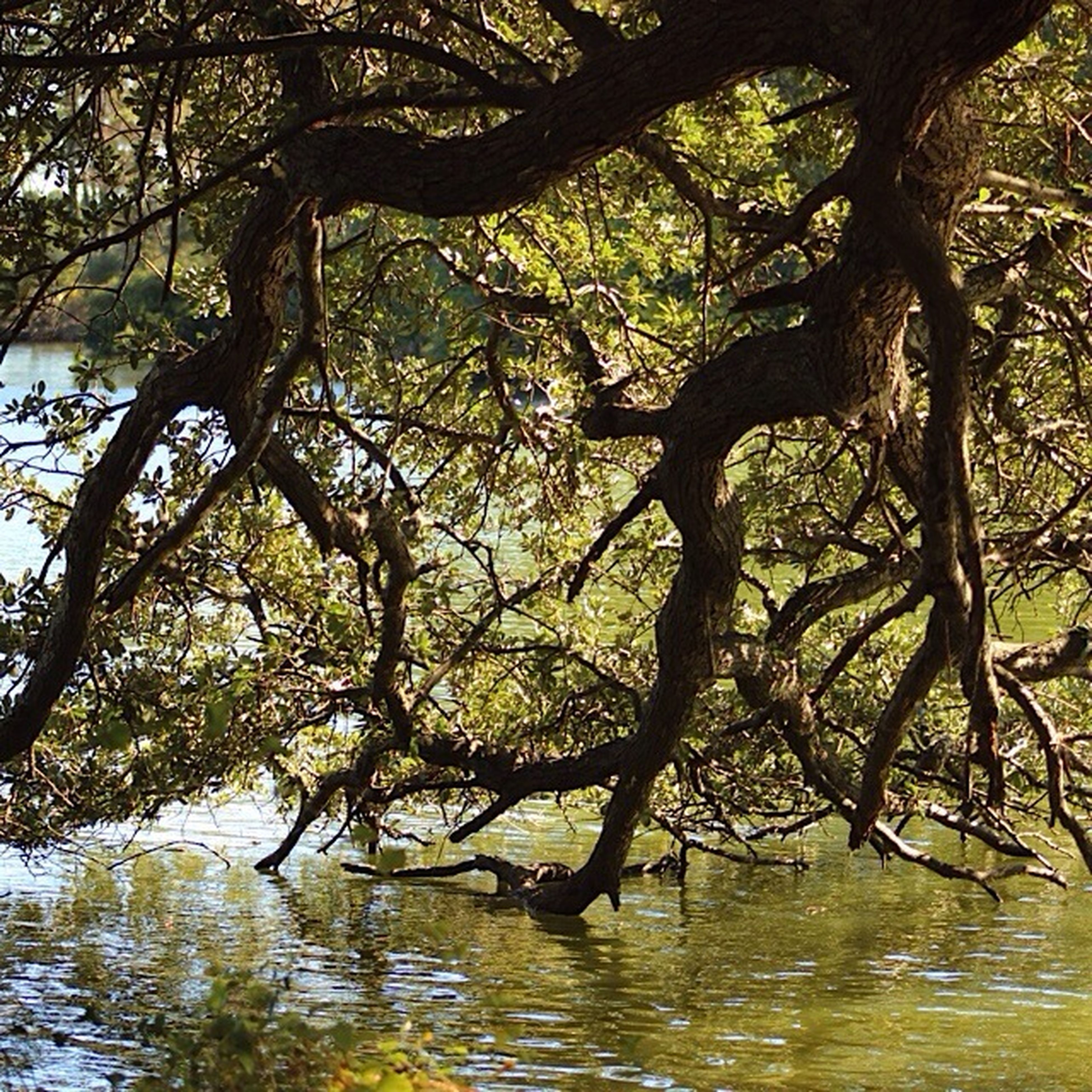 tree, water, branch, tranquility, tree trunk, tranquil scene, nature, lake, beauty in nature, scenics, waterfront, growth, reflection, forest, idyllic, sunlight, rippled, day, river, bare tree