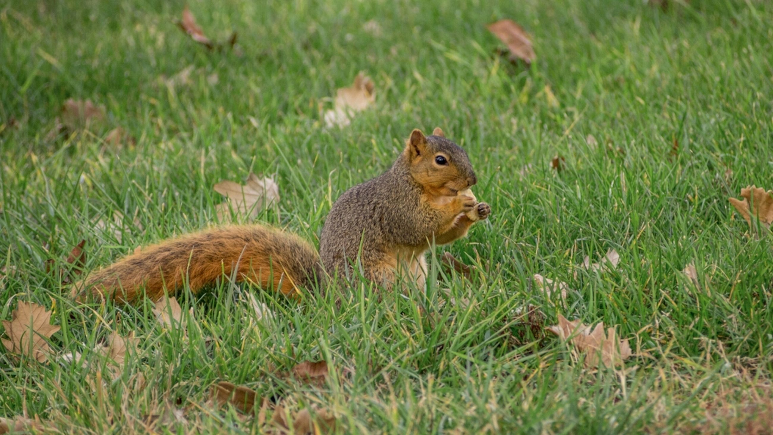 animal themes, grass, animals in the wild, wildlife, one animal, field, grassy, squirrel, green color, nature, mammal, growth, rodent, day, high angle view, outdoors, sitting, no people, full length, plant