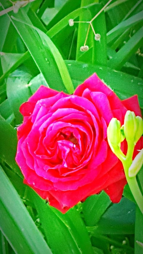 Flower Nature Leaf Petal Growth Beauty In Nature Rose - Flower Fragility Freshness Flower Head Green Color Plant Outdoors Day No People Close-up Red Blooming Rosé Pink