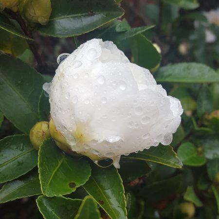 Raindrops Flower White Flower Jehovahscreation
