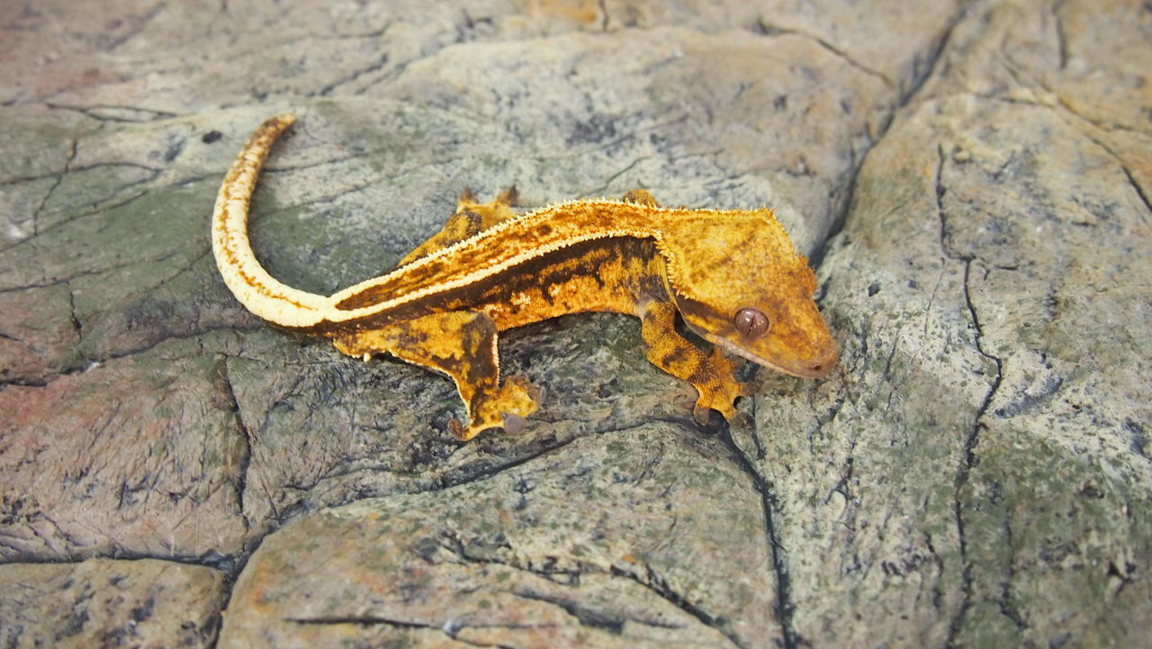 Animal Themes Ciliatus Close-up Crested Gecko Gecko Nature No People One Animal Pets Pin Stripe Reptile Reptile Photography