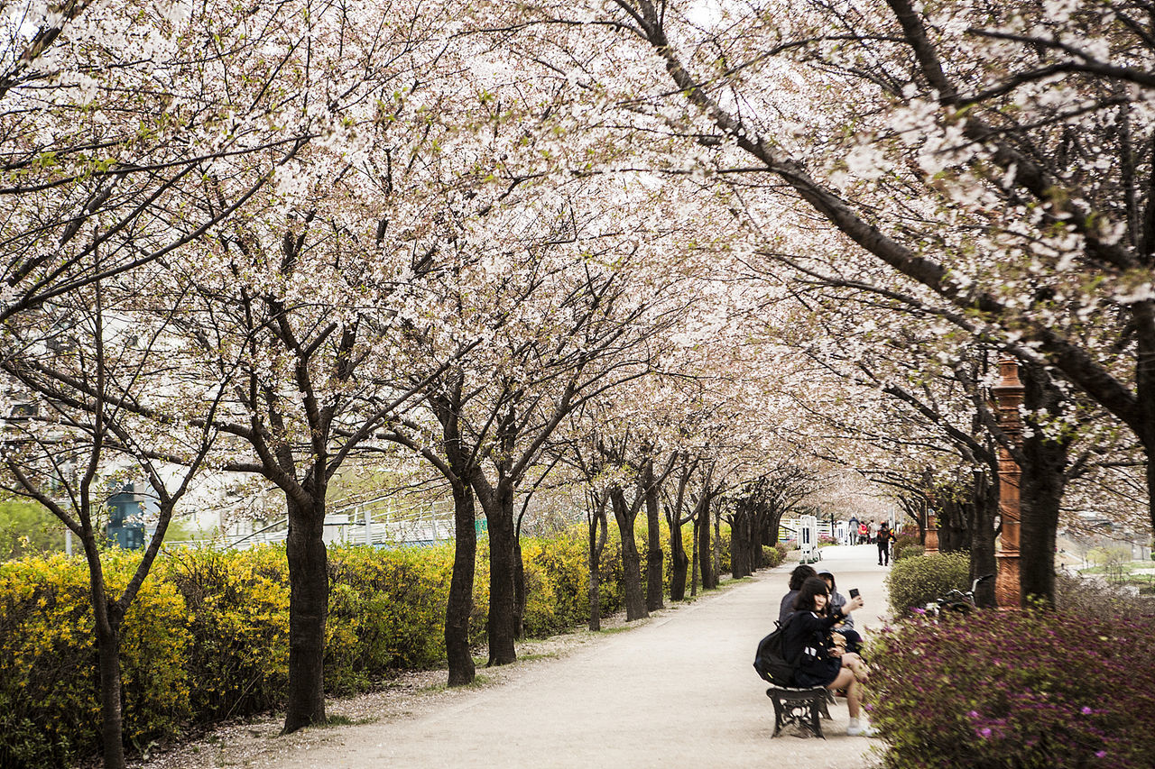 Anyangchun Seoul South Korea Korea Cherry Blossoms Spring