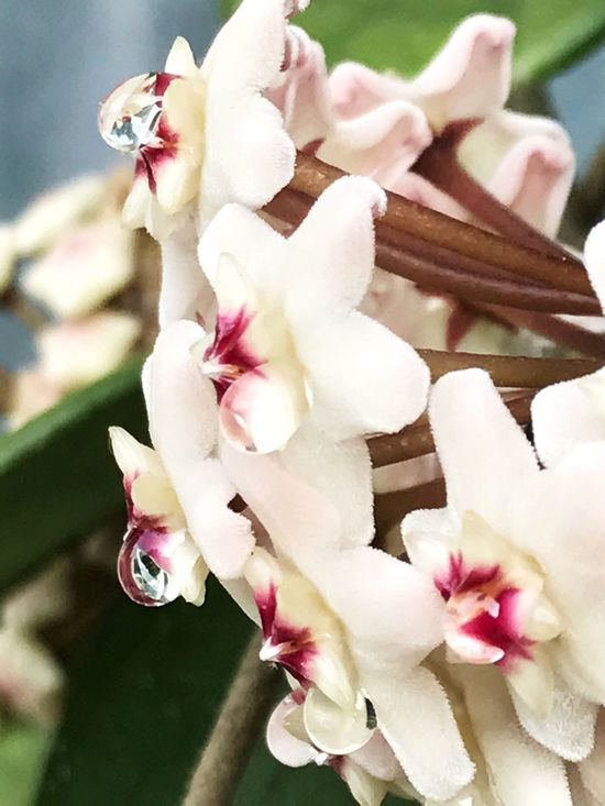 Flower Fragility Petal Freshness Blossom Flower Head Beauty In Nature Nature Growth Botany No People Close-up White Color Springtime Day Pink Color Stamen Outdoors Blooming Plant Hoya Hoya Carnosa Wax Flower