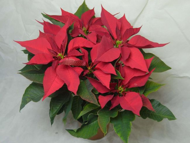 Poinsetta Poinsettia Variety Poinsetta Flowers Poinsettia Poinsettia With Christmas Tree Poinsettia Plants Poinsettia Flower Poinsettias Leaf Flower Red Plant Nature No People Flower Head Beauty In Nature Growth Beauty Herbal Medicine Outdoors Close-up Day Freshness