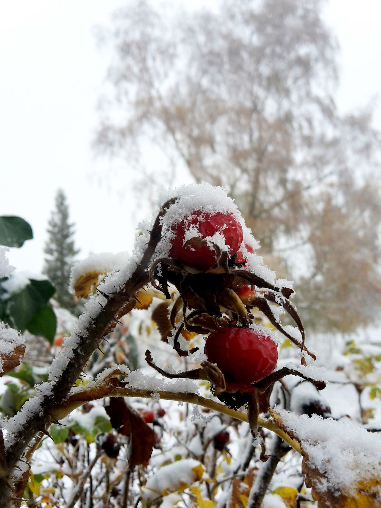 Rose hips slightly covered by snow Beauty In Nature Branch Close Up Close-up Cold Days Cold Temperature Day Flower Flower Head Fragility Frozen Growth Nature Outdoors Red Rose Hip Rose Hips Snow Tree Weather Winter