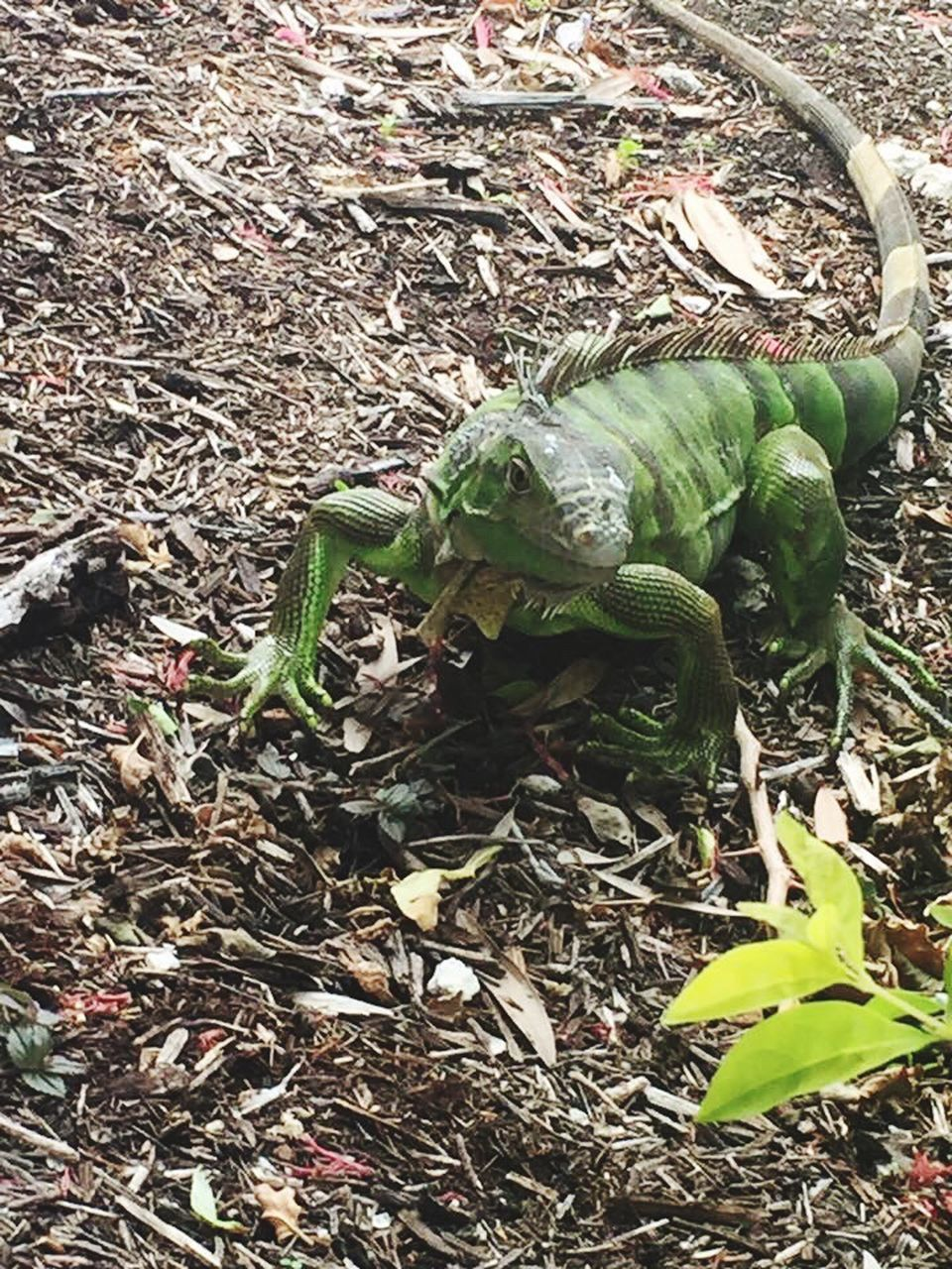 animal themes, high angle view, day, no people, one animal, animals in the wild, green color, leaf, reptile, outdoors, nature, close-up, mammal