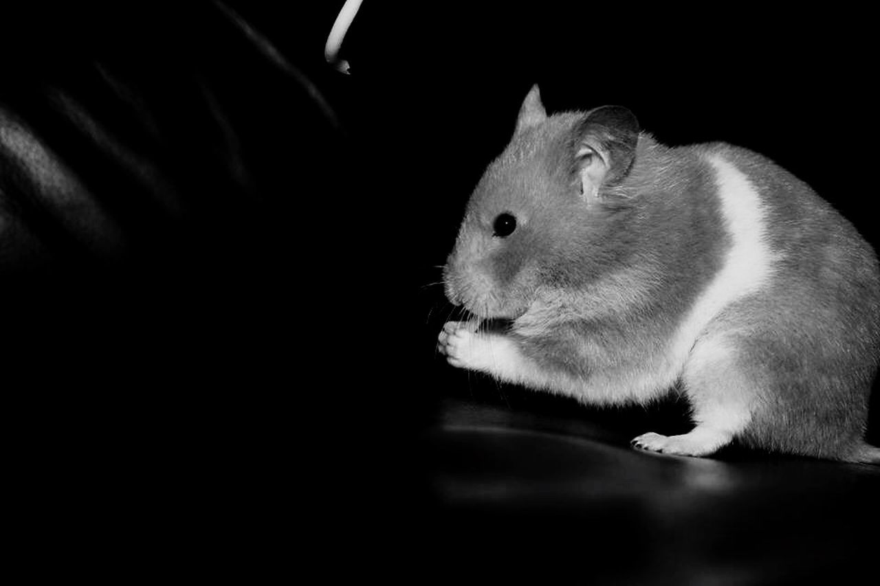 Hamster Love Animal Photography Eye4black&white  Snapshots Of Life EyeEm Animal Lover EyeEmBestPics Eyemphotography EyeEm Best Shots Eyeem Spring Hamster