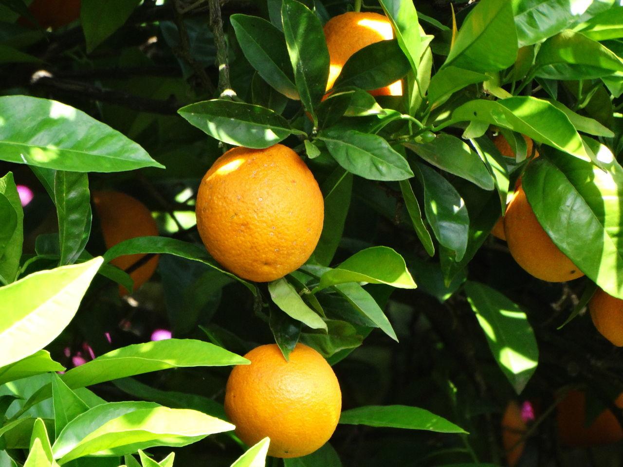 Day Fruit Fruit Tree Fruits ♡ Green Leaf Nature Orange Orange - Fruit Oranges