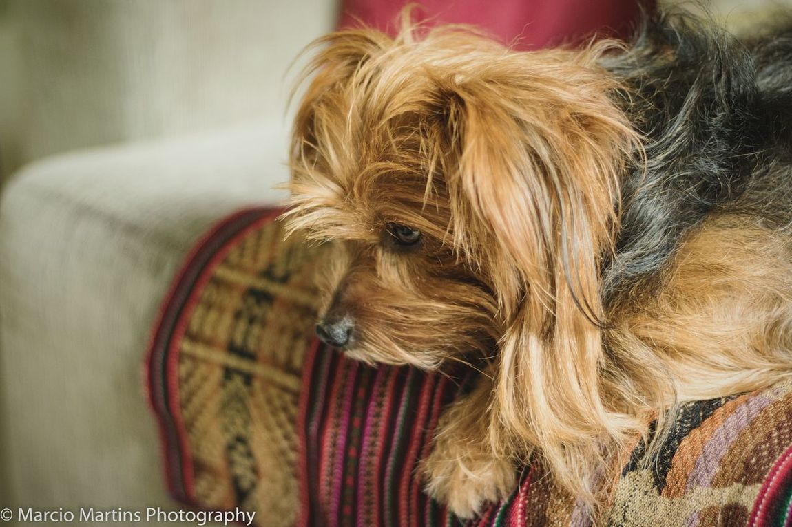 Pets Domestic Animals Mammal One Animal Animal Themes Dog Indoors  Close-up No People Day Yorkshire Terrier Pets In The House Yorkshire Yorkshireterrier Dogs Dogs Of EyeEm Animal Animals