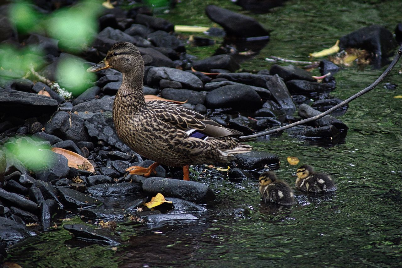 Mother duck and chicks. Tried evading me so was tricky business. Bird Animal Themes Animals In The Wild Duck Animal Wildlife Water Nature No People Day Outdoors Mother Duck Chicks Ducklings The Great Outdoors - 2017 EyeEm Awards Photography EyeEmNewHere
